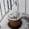 Snow Lavender