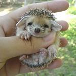 Baby Hedgehog (1)