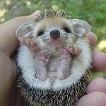 Baby Hedgehog (3)