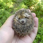 Baby Hedgehog (4)